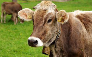 cow-3089259_1280_pixabay